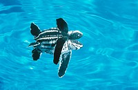 Leatherback turtle (Dermochelys coriacea) hatchling in lagoon swimming out to sea. Tropical all oceans