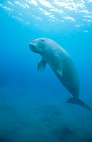 Dugong (Dugong dugon) ascending to the surface. Tropical Indo Pacific from the Red Sea to Vanuatu