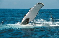 Humpback whale (Megaptera novaeangliae) pectoral fin. Breeding migration from Polar to Tropics. All oceans
