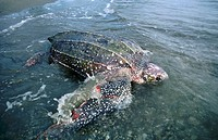Leatherback turtle (Dermochelys coriacea) returning to the sea at dawn after laying. Rare and endangered species. Worlds largest turtle growing to 3 m...