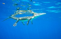 Indopacific or estuarine crocodile (Crocodylus porosus) underwater. Tropical India to Vanuatu
