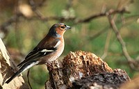 Chaffinch (Fringilla coelebs)
