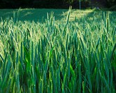 Agriculture, ears, field, grain, grain field, green, growing,
