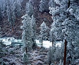 Frost on Ponderosa Pines (Pinus ponderosa). Deschutes River Canyon. Bend. Oregon, USA
