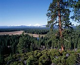 Ponderosa Pines (Pinus ponderosa) and Cascade Mountains. Deschutes National Forest. Central Oregon, USA