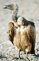 Whitebacked vulture (Gyps africanus). Etosha National Park. Namibia