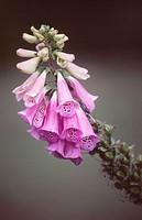 Foxglove (Digitalis spp.)