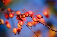 Berries on crabapple tree, orange and red with blue sky behind, Bloomington, Indiana, USA