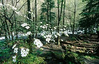 Dogwood (Cornus sp.) and stream. Great Smoky Mountains National Park. Tennessee, USA