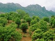 Chesnut trees. Los Ibores. Las Villuercas. Caceres province. Extremadura. Spain