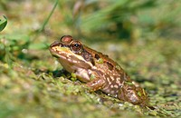 Frogs (Rana esculenta), Germany