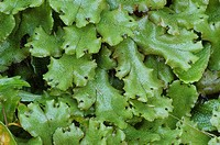 Liverwort (Asterella sp.)