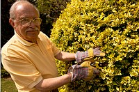 Older man pruning hedge