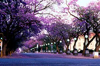 Jacaranda Trees, Pretoria, Gauteng, South Africa