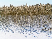 Grass and snow at Puhtu-Laelatu-Nehatu reserve, Matsalu National Park. West Estonia