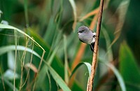 Sooty Tyrannulet (Serpophaga nigricans). Uruguay