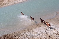 Horse, Herd, Crossing river, Aerial view, Australia