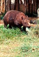A Sumatran rhino, Malaysia