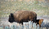 Bison (Bison bison) and calf. Theodore Roosevelt National Park, North Dakota. USA