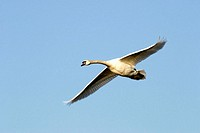 Flying swan (mute swan, Cygnus olor) on a background of the blue sky.