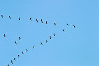 Barnacle Goose (Branta leucopsis) in huge flock flying through Denmark during spring migration in formation from the Waddensea to the northern Russian...