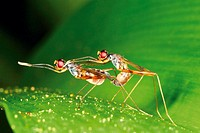 Mating long-legged flies of the fly family Dolichopodidae on big green leaf of lily in damp forest in Thailand, Southeast Asia.