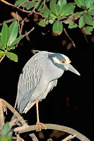 Yellow-crowned Night Heron (Nycticorax violaceus). Sanibel Island, Florida. USA