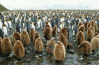 King Penguins (Aptenodytes patagonicus). Salisbury plain, South Georgia, UK