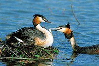 Great Crested Grebe (Podiceps cristatus). Germany