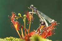 White-legged damselfly trapped in Sundew (fam. Droseraceae). Germany
