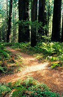Paths in forest, Humboldt redwoods State Park. Humboldt County. California