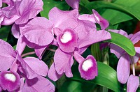 Orchid (Laeliocattleya sp.)