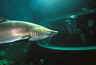 Shark in aquarium. Visitors watching a sand tiger shark (Carcharhias taurus) through the viewing window of an aquarium. This is a large coastal specie...