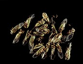 Cicada insects (Carineta aratayensis). These specimens have been preserved so that their haemolymph (body fluid) can be extracted. Juvenile cicadas sp...