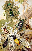 Beetles. Historical chromolithograph artwork of beetles from around the world. Clockwise from upper left are: Cicindela campestris, C. chinensis, Euph...