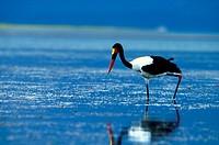Saddlebilled Stork, Kariba, Zimbabwe