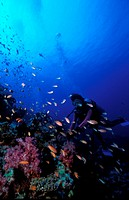 Diver near corals and fishes
