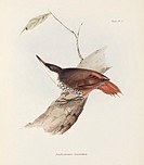 Lithograph by Elizabeth Gould after a drawing by her husband John Gould, from ´The Zoology of the Voyage of HMS Beagle´, published in London, 1839-184...