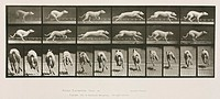 Time-lapse photographs of a greyhound running, 1872-1885.Photograph by Edweard James Muybridge (1830-1904), British-American photographer and pioneer ...