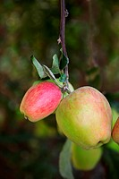 Close-up of apples on an apple tree.
