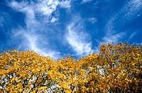 Yellow treetops