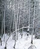 Aspen (Populus Tremuloides) in snow. Deschutes National Forest. Oregon. USA
