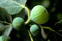 Figs on the Fig Tree (Ficus carica)