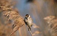 Reed bunting (Emberiza schoeniclus). Norfolk. England. UK
