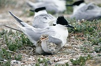 Sandwich Tern (Sterna sandvicensis) at nest. Norfolk. England. UK