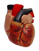 cardiovascular model