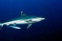 Silvertip Shark, Silvertip Alley, Papua New Guinea