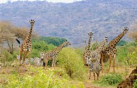 Burchell's Zebras (Equus burchelli) and Giraffes (Giraffa camelopardalis). Lake Manyara National Park. Tanzania
