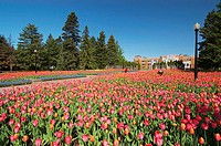 Spectacular tulip display at the Montreal Botanical Garden (Jardin Botanique). Montreal. Quebec, Canada