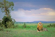 Lion (Panthera leo) before a thunderstorm. Masai Mara. Kenya